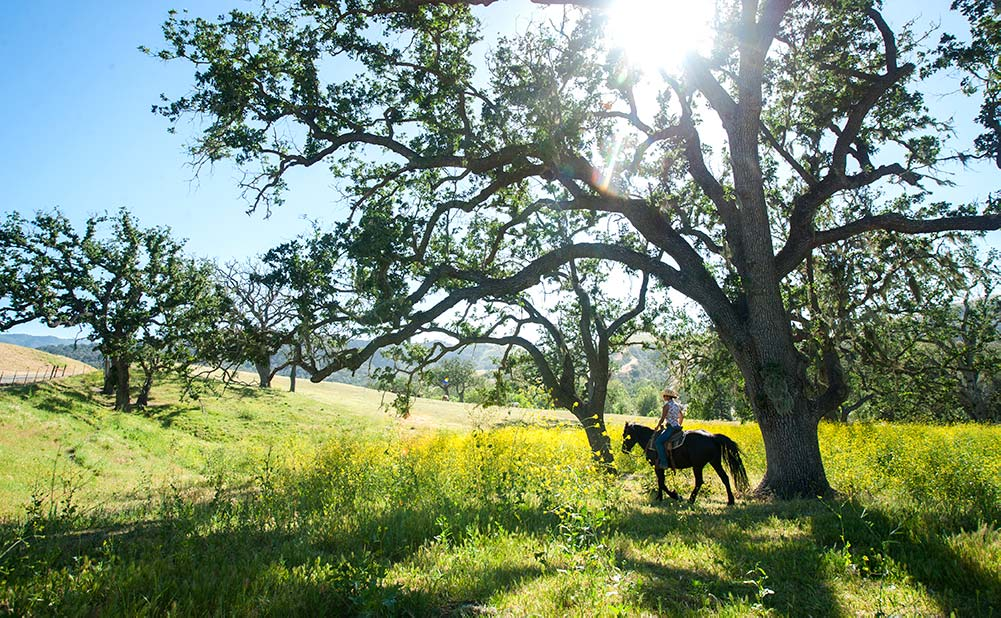 Woman on horseback in a field of flowers under a sycamore tree with the sun overhead at the Alisal Guest Ranch in Solvang, CA
