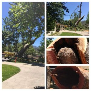 Alisal Guest Ranch and Resort - Old Sycamore Tree