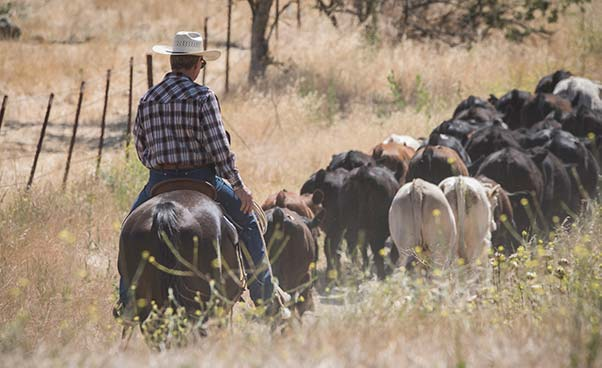 Herding Cattle on horseback at the Alisal Guest Ranch & Resort