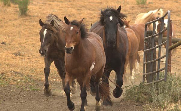 Horses running through a gate