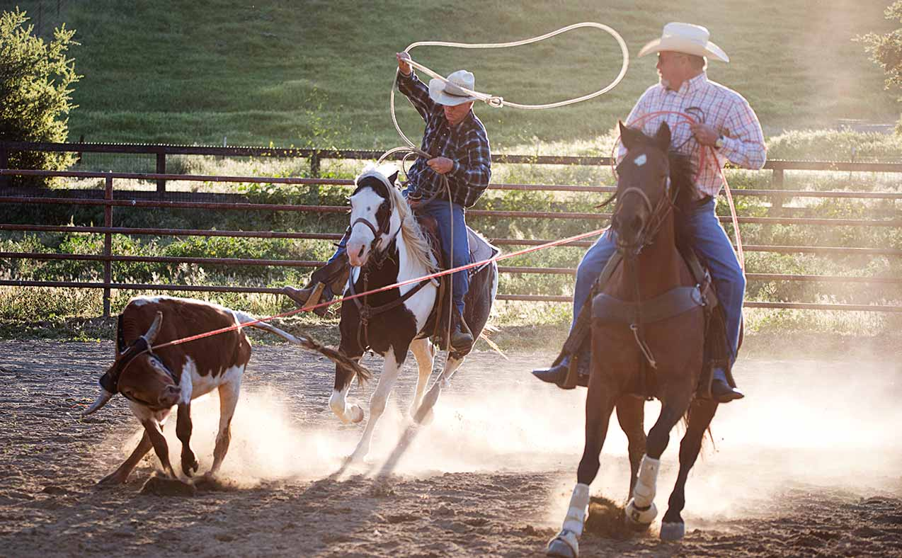 Two cowboys team roping a calf while on horseback at the Alisal