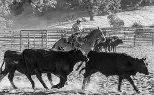 Team sorting on horseback at the Alisal