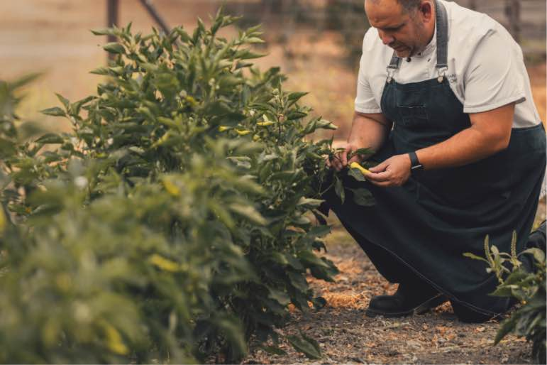 Chef Anthony Endy picking the perfect pepper at the Alisal Guest Ranch & Resort