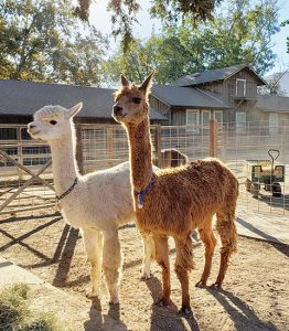 Alpacas at the barn and petting area at Alisal Guest Ranch