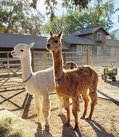 Alpacas at the barn