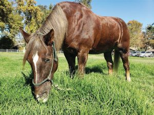 Featured Alisal Horse, Marmaduke