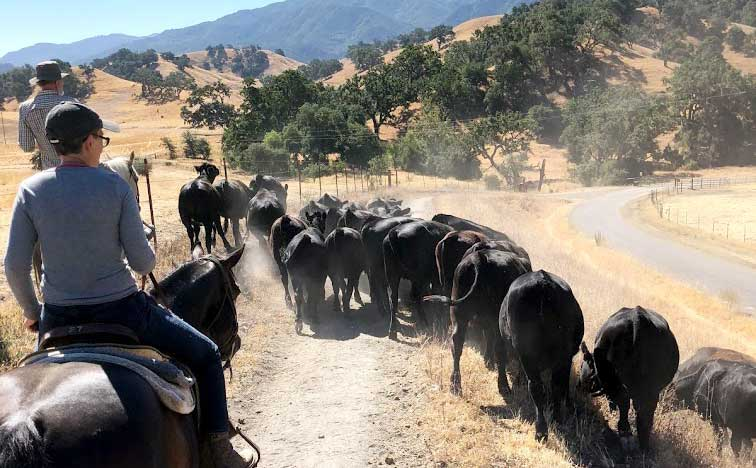 Herding Cattle on horseback at the Alisal Guest Ranch & Resort