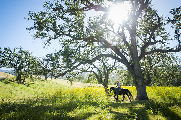 An Alisal Wrangler riding a horse under a Sycamore tree with the sun behind it.