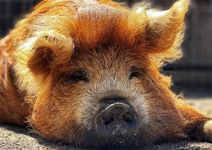 A happy potbelly pig awaiting visitors in the Alisal barnyard