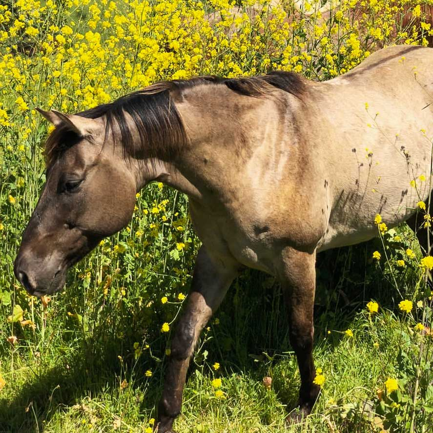 Tabasco the horse out grazing on spring grasses at the Alisal Guest Ranch & Resort